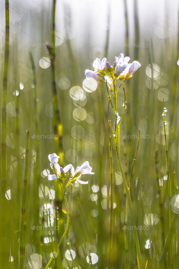 Cuckoo flower with back lit Background - Stock Photo - Images