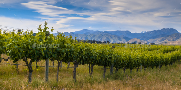 new zealand organic vineyard Marlborough area - Stock Photo - Images