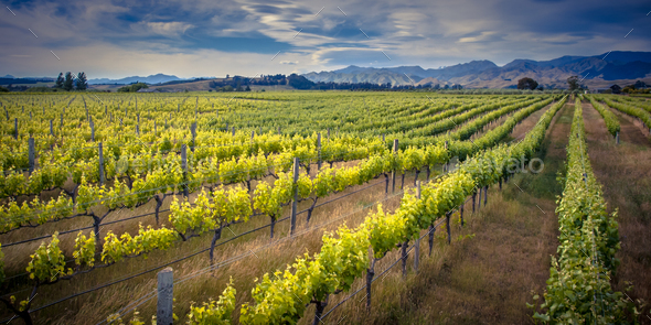 Vineyard Marlborough area new zealand - Stock Photo - Images