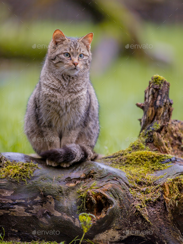 European wild cat with distictive tail - Stock Photo - Images