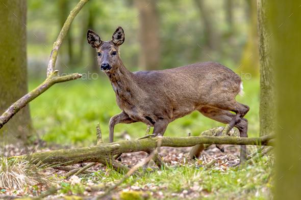 Anxious Roe Deer - Stock Photo - Images