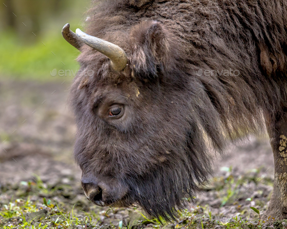 Grazing Wisent bull - Stock Photo - Images