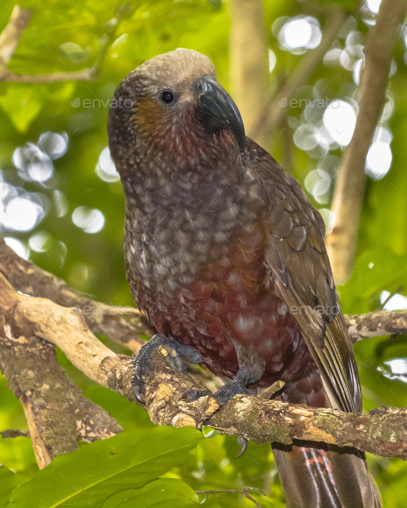 New Zealand native Kaka parrot on branch - Stock Photo - Images