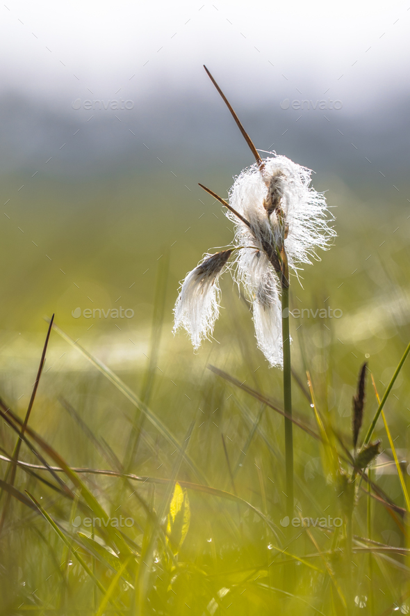Common cottongrass close up - Stock Photo - Images