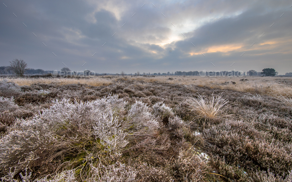 Winter morning sunrise over frosty heather - Stock Photo - Images