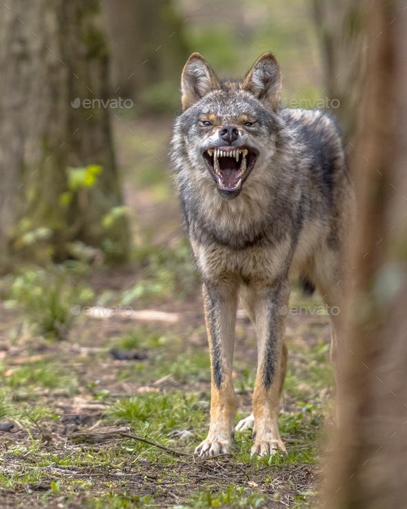 Agressive European grey Wolf - Stock Photo - Images