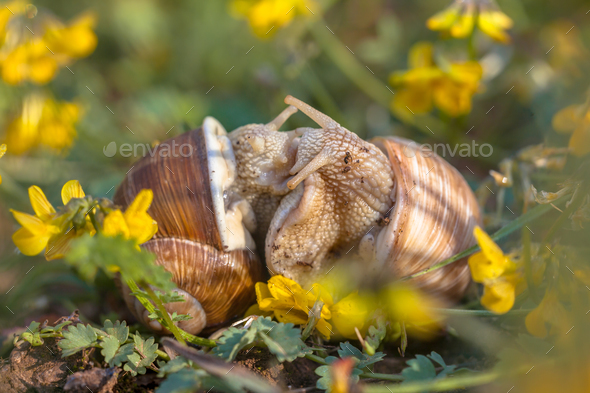 Mating Burgundy snails - Stock Photo - Images