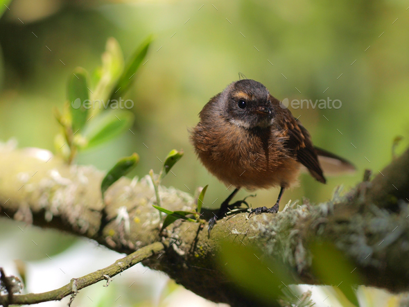 Juvenile New Zealand fantail - Stock Photo - Images