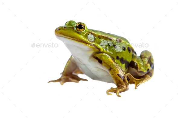 Green Pool frog male on white - Stock Photo - Images