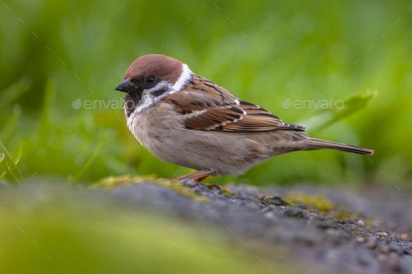 Tree sparrow in garden - Stock Photo - Images
