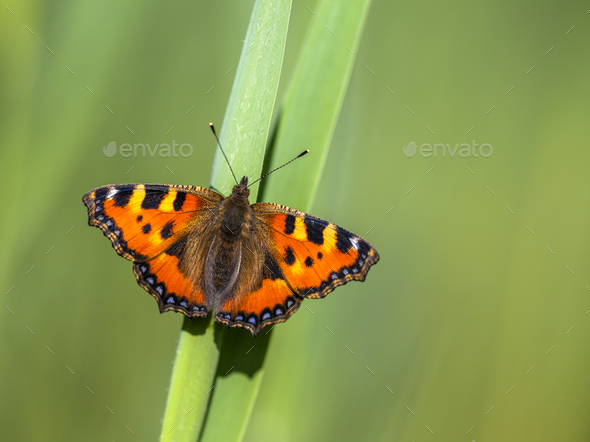 Perched Small tortoiseshell butterfly - Stock Photo - Images