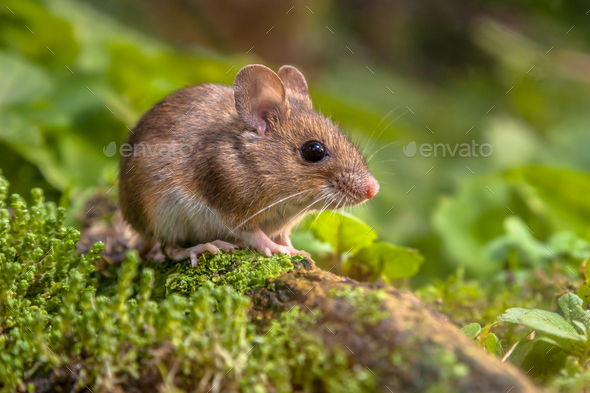 Cute Wood mouse in natural habitat - Stock Photo - Images