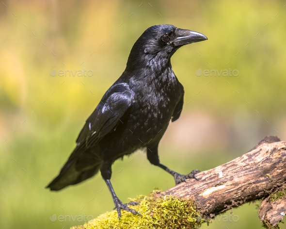 Black Carrion Crow looking for food - Stock Photo - Images