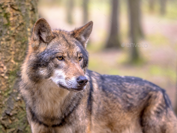 Wolf in between of trees of forest - Stock Photo - Images