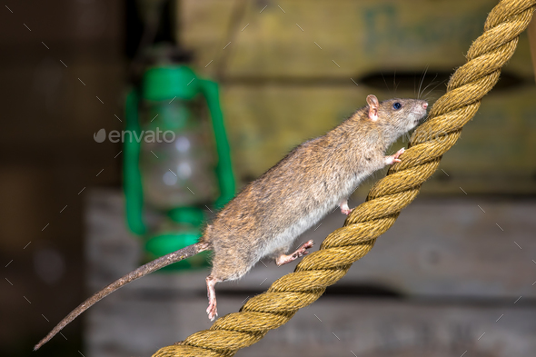 Brown rat on anchor rope - Stock Photo - Images