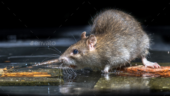Close up of Wild brown rat in water - Stock Photo - Images