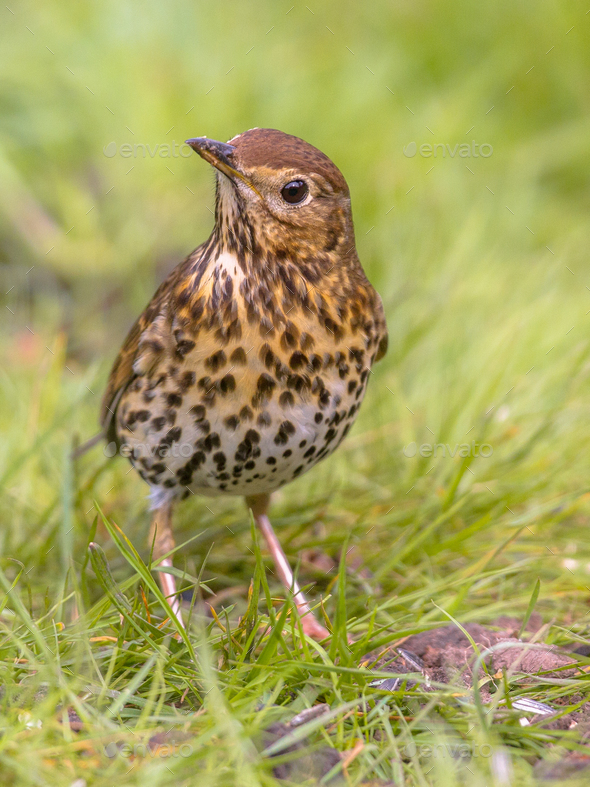 Song Thrush looking with one eye with green grass background - Stock Photo - Images
