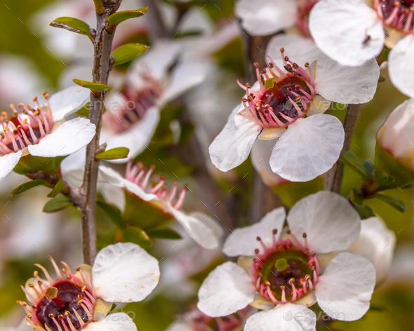 Group of manuka flowers close up - Stock Photo - Images