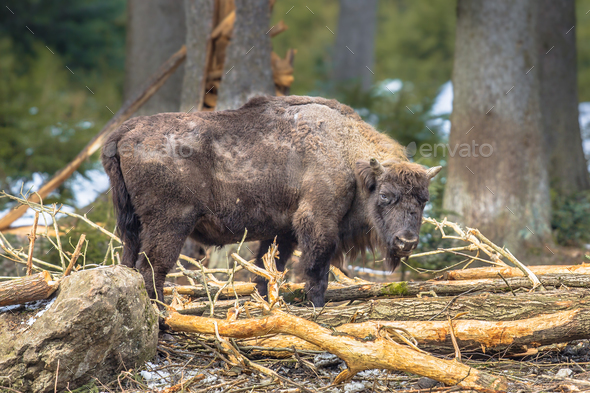 Wisent looking in the forest - Stock Photo - Images