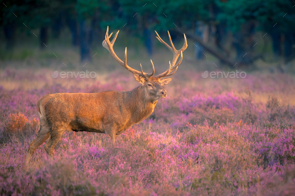 Male red deer with huge antlers - Stock Photo - Images