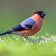 Bullfinch in lawn - PhotoDune Item for Sale