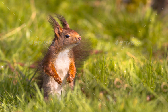 Red squirrel in lawn - Stock Photo - Images