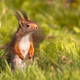 Red squirrel in lawn - PhotoDune Item for Sale