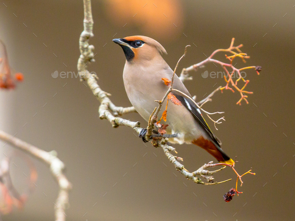 Bohemian waxwing winter passerine bird eating berries - Stock Photo - Images