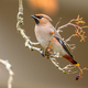 Bohemian waxwing winter passerine bird eating berries - PhotoDune Item for Sale