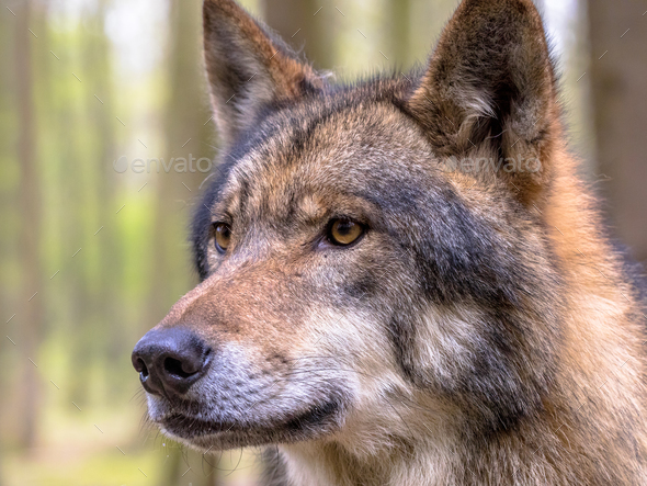 Portrait of Wolf in a forest - Stock Photo - Images