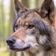 Portrait of Wolf in a forest - PhotoDune Item for Sale