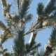 Snow Falls From Pine Branches on a Sunny Day - VideoHive Item for Sale