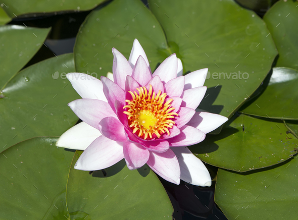 Lily - Stock Photo - Images