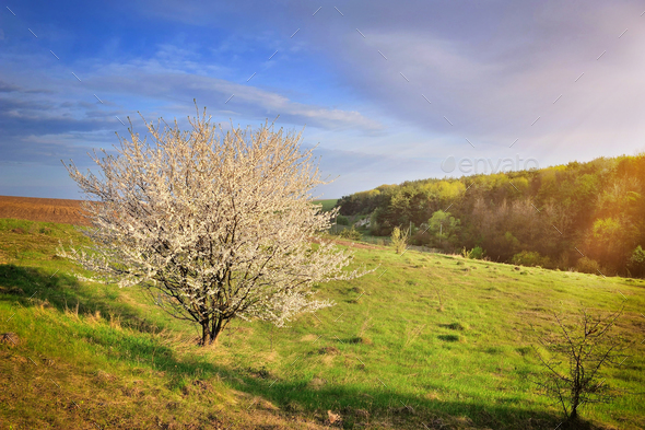 Single blossoming tree in spring. Spring landscape. - Stock Photo - Images