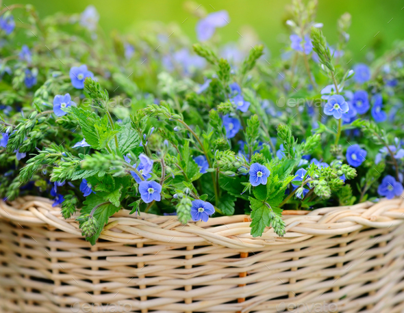 Veronica flowers (Veronica chamaedrys) in a basket - Stock Photo - Images
