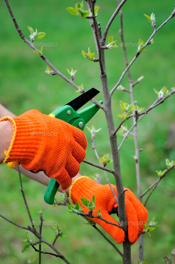 Hands with gloves of gardener doing maintenance work, pruning th - Stock Photo - Images