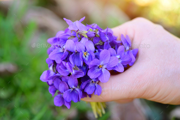 A bouquet of violets (Viola Odorata) in a female hand - Stock Photo - Images