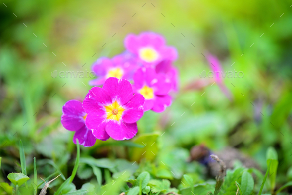Spring flowers of Primula juliae (Julias Primrose) or purple pri - Stock Photo - Images