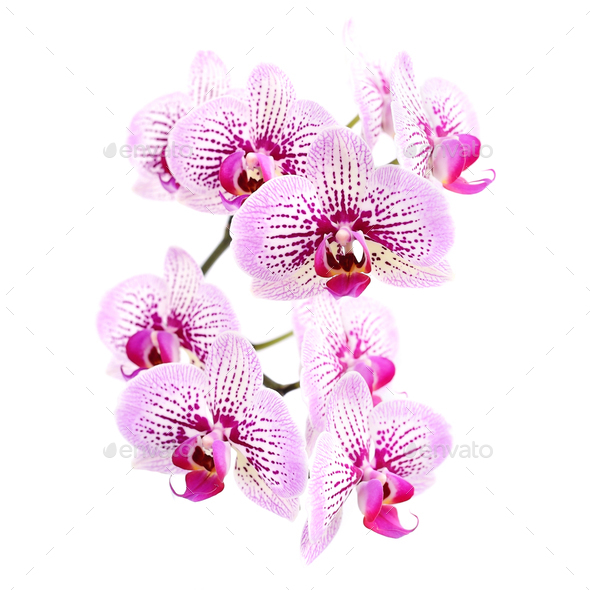 Pink streaked orchid flower, isolated on white background - Stock Photo - Images
