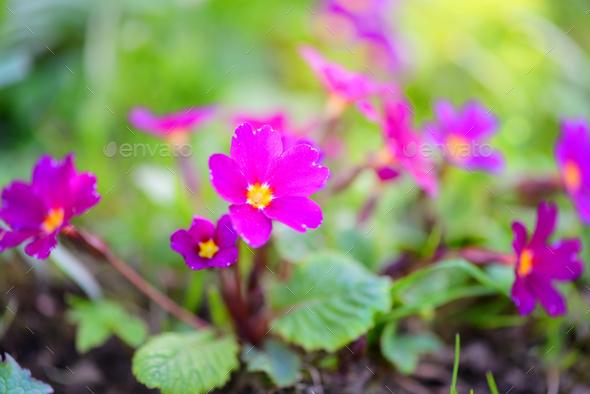 Spring flowers of Primula juliae (Julias Primrose) or purple pri - Stock Photo - Images