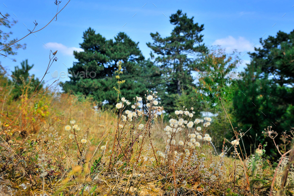 Autumn grasses in a good day near pine forest - Stock Photo - Images