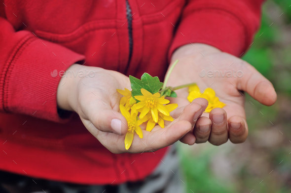 Spring yellow flowers in children's hands - Stock Photo - Images