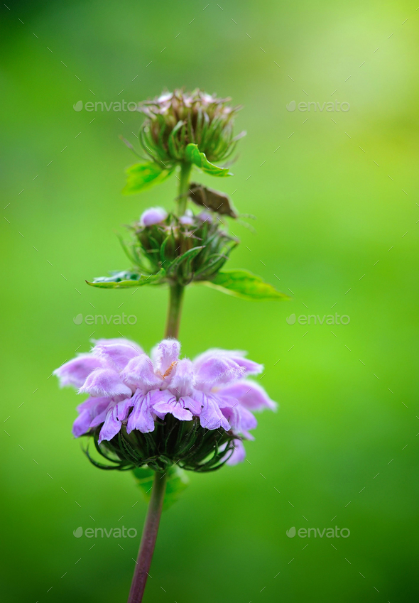 Closeup flowers of Phlomoides tuberosa (Phlomis tuberosa) - Stock Photo - Images