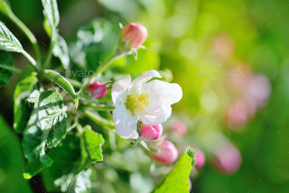 Apple flowers in the sunshine on the natural background - Stock Photo - Images