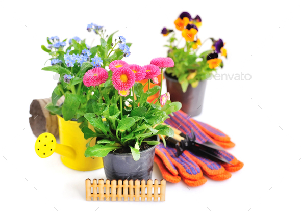 Marguerite flowers and other spring flowers and garden tools on - Stock Photo - Images