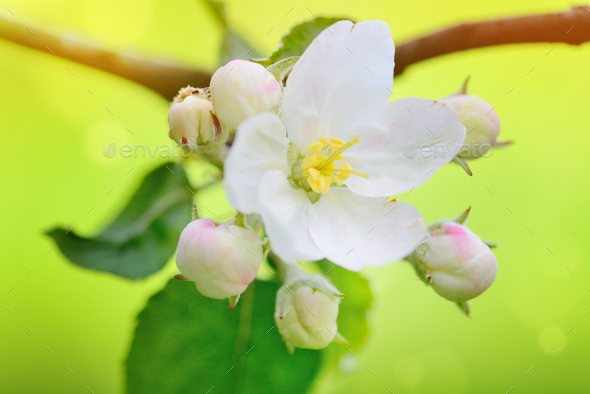 Apple flowers over natural green background - Stock Photo - Images