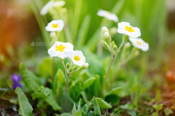 Spring flowers of Primula juliae (Julias Primrose) or white prim - Stock Photo - Images
