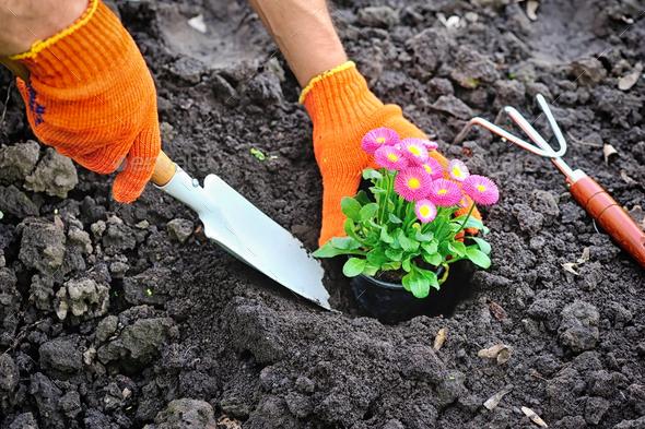 Gardeners hands planting marguerite flowers in garden - Stock Photo - Images