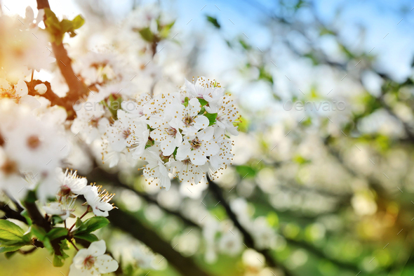 Flowers bloom on a branch of pear against blue sky - Stock Photo - Images