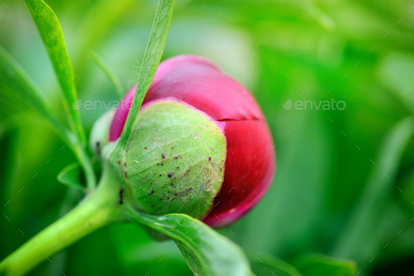 Red peony bud on a green background - Stock Photo - Images